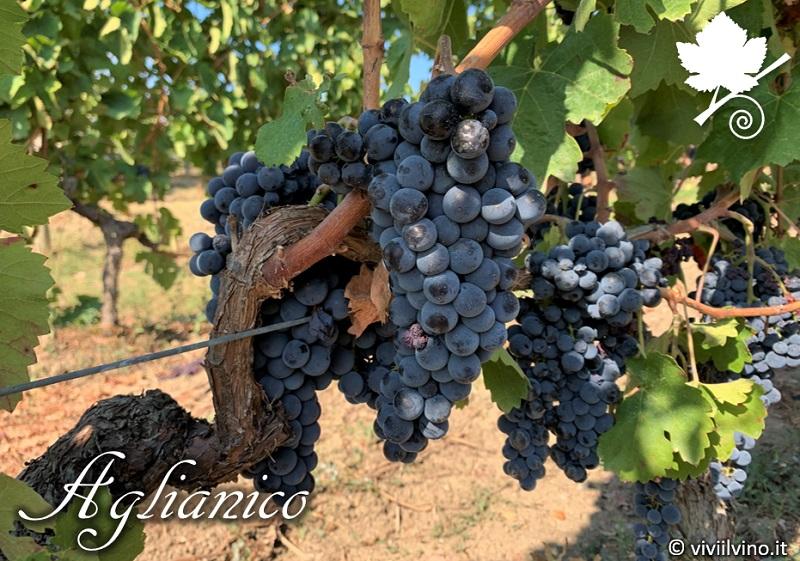 Aglianico - grappoli vitigno