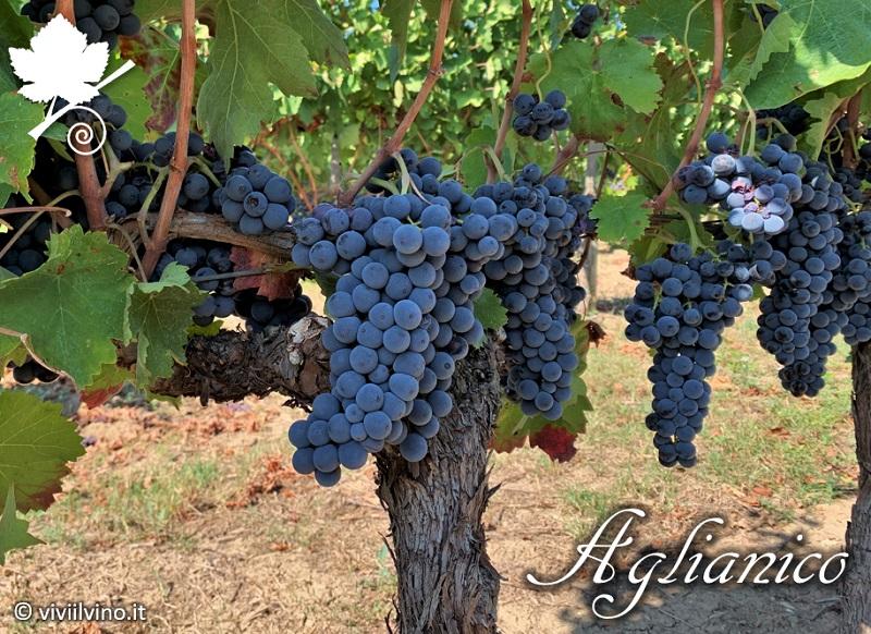 Aglianico - grappoli vitigno 2
