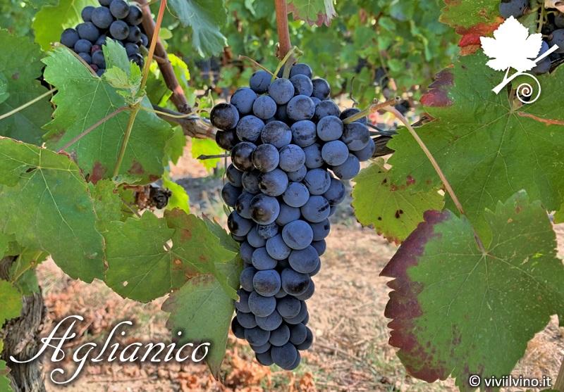 Aglianico vitigno grappolo
