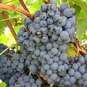 Alicante vitigno