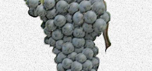 Ancellotta - vitigno