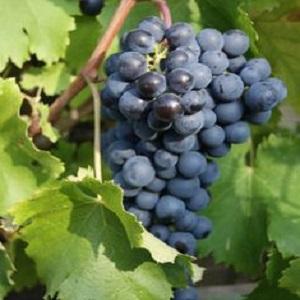 Avanà vitigno