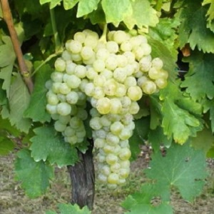 Biancame vitigno