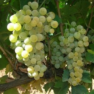 Bombino Bianco vitigno