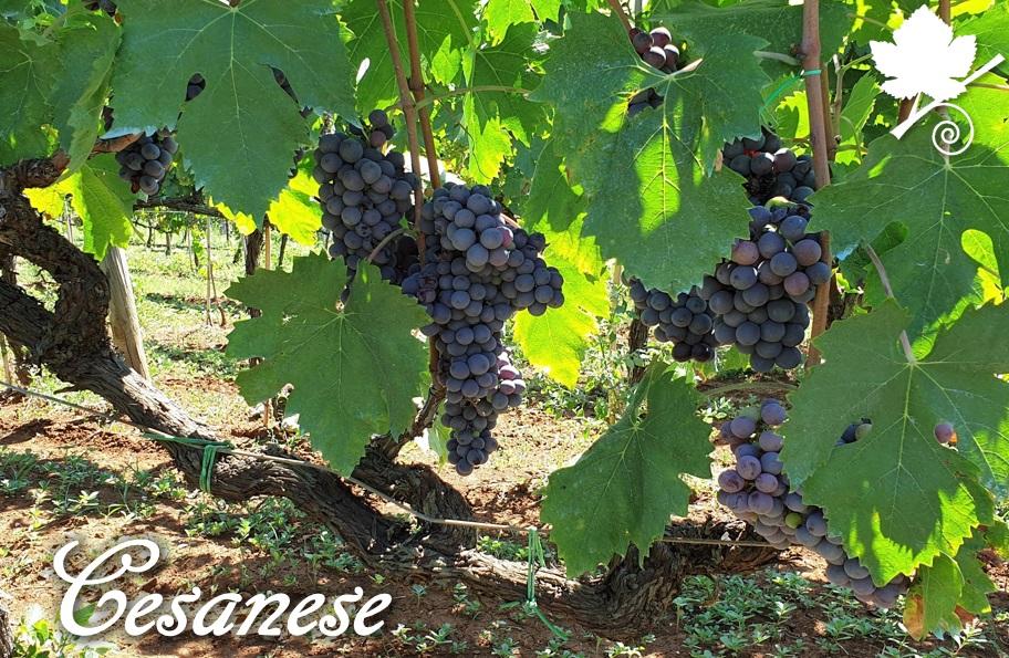 Cesanese vitigno grappoli