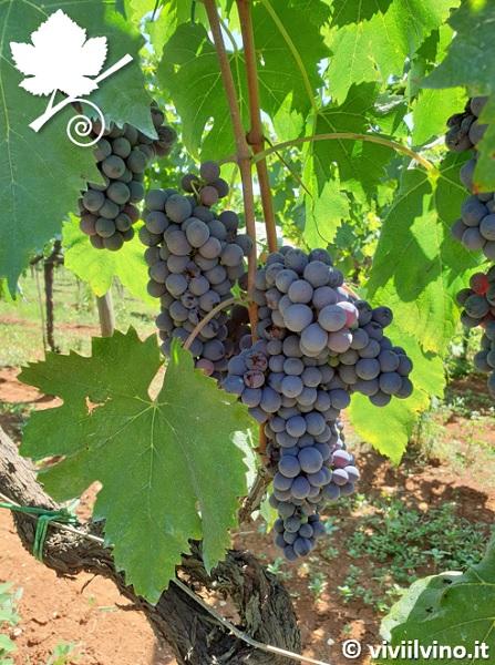 Cesanese vitigno