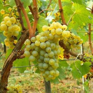 Chardonnay vitigno