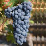 Cornalin vitigno