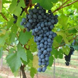 Croatina (bonarda) vitigno