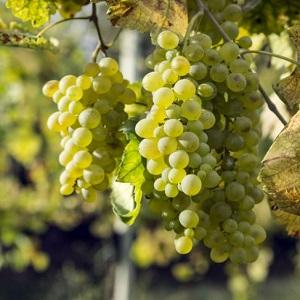 Falanghina vitigno