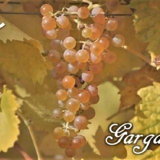 Garganega vitigno grappolo
