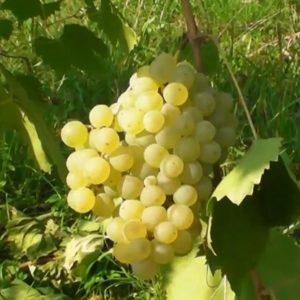 Glera grappolo vitigno