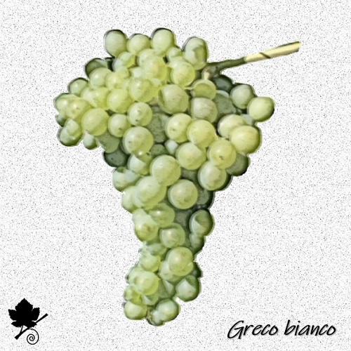 Greco bianco - vitigno