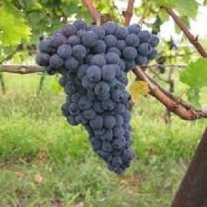Groppello vitigno