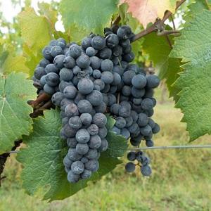 Lacrima nera vitigno