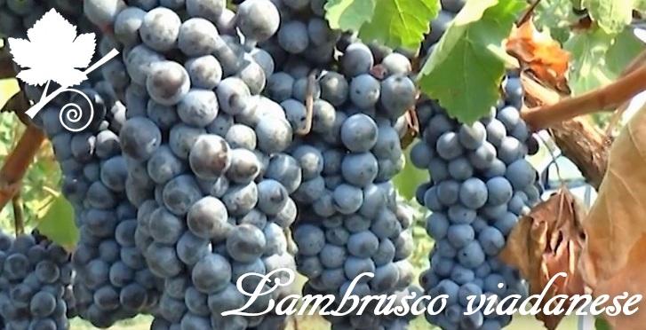 Lambrusco Viadanese o Groppello Ruberti grappoli