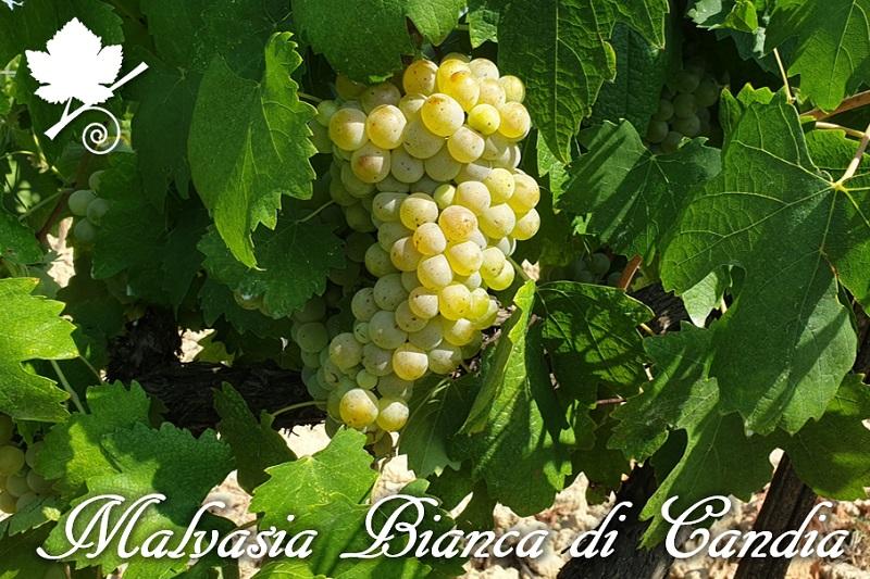 Malvasia Bianca di Candia vitigno
