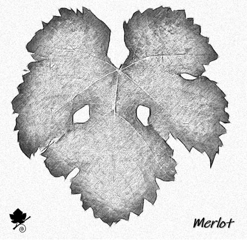 Merlot - foglia