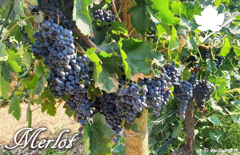 Merlot - grappoli del vitigno