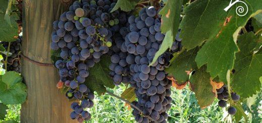 Merlot - vitigno internazionale