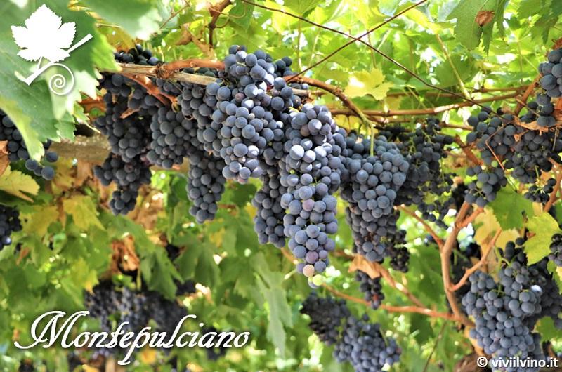 Montepulciano - grapppoli