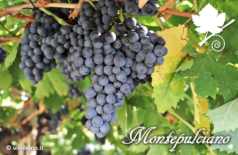 Montepulciano - vitigno
