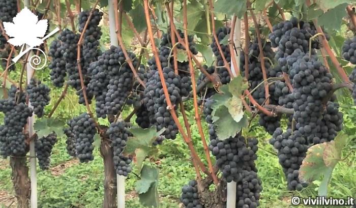 Nebbiolo grappoli vitigno