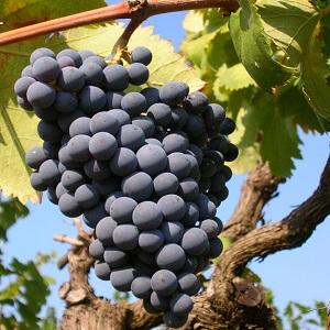 Nero Buono vitigno
