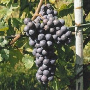 Pelaverga vitigno
