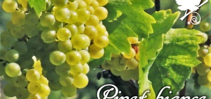 Pinot bianco grappoli