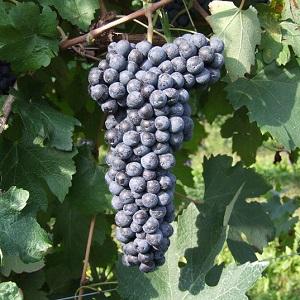 Raboso vitigno