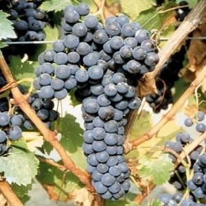 Rochè vitigno