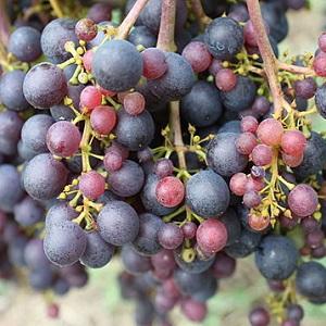 Rossese vitigno