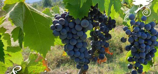 Sangiovese - vitigno