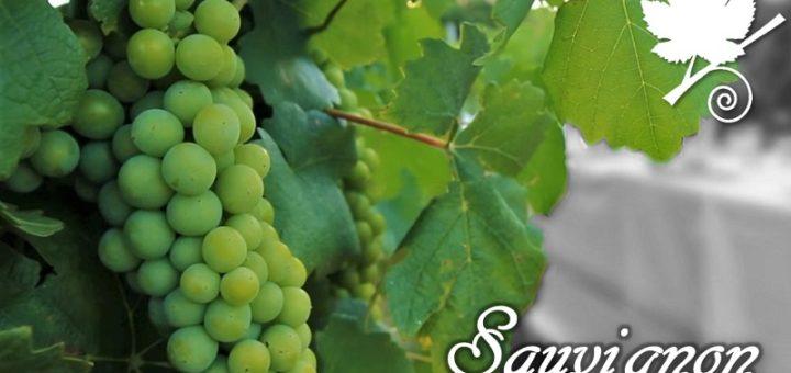 Sauvignon blanc grappolo