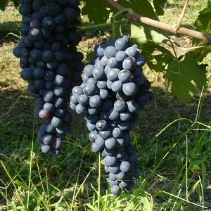 Sciascinoso o Olivella - vitigno