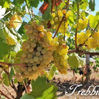 Trebbiano toscano - grappoli del vitigno