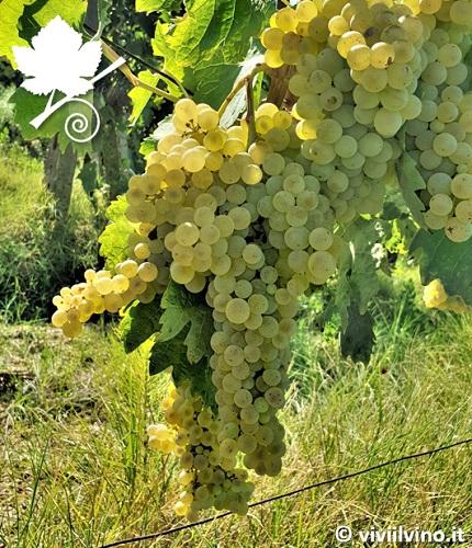 Trebbiano toscano - vitigno