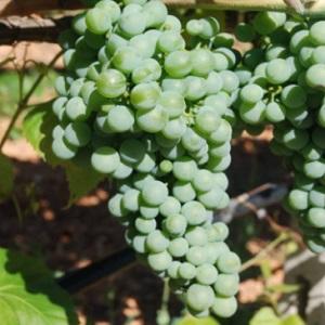 Verdeca vitigno