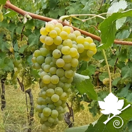 Verdicchio vitigno