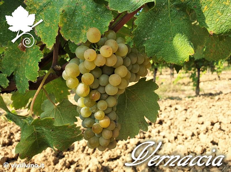 Vernaccia di San Gimignano - vitigno 2