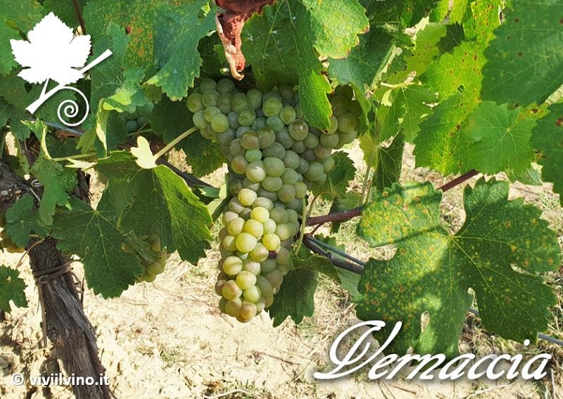 Vernaccia di San Gimignano - vitigno