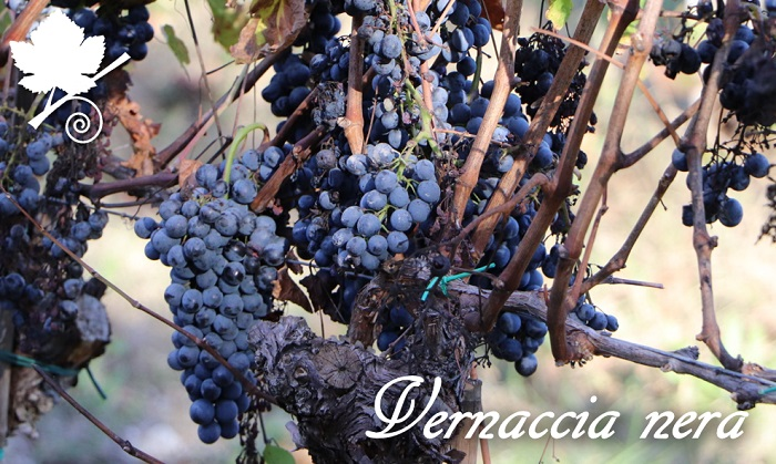 Vernaccia nera grappoli