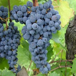 canaiolo vitigno