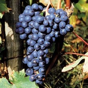 freisa vitigno