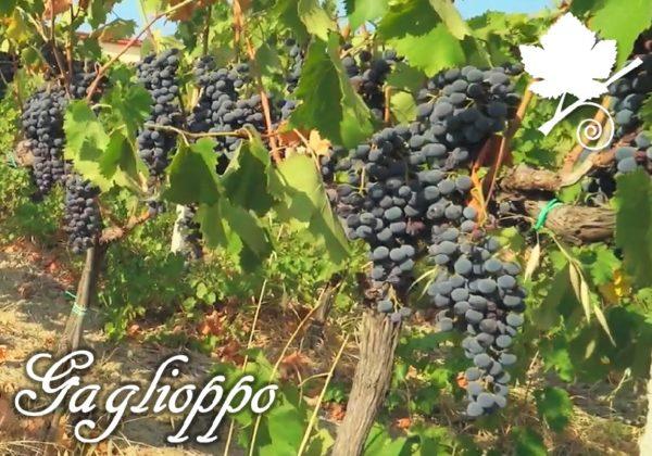 gaglioppo vigne