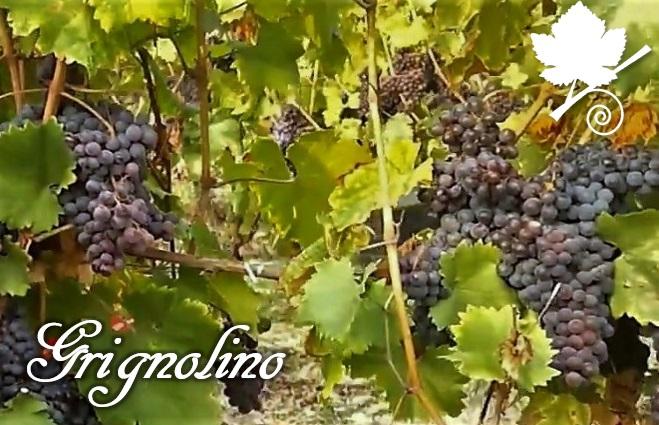 grignolino grappoli