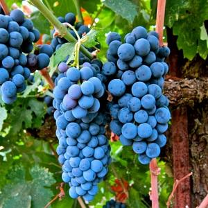 merlot vitigno