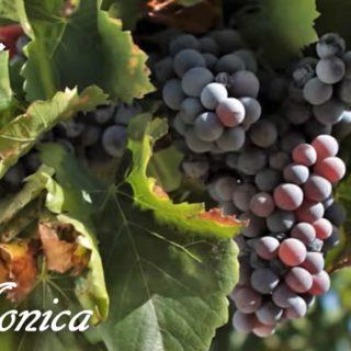 monica vitigno grappolo