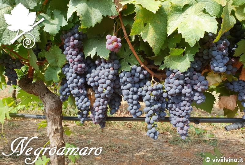negroamaro vigne
